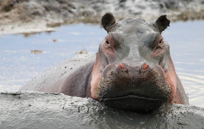 Hippo-Lake Manyara