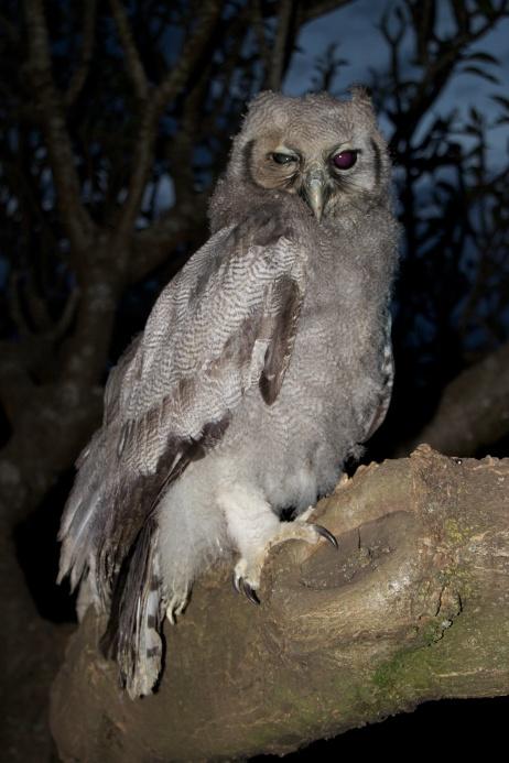 Verreaux's Eagle Owl-Arusha