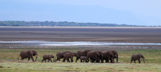 Elephants-Lake Manyara
