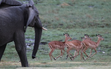 Elephants and impalas-Lake Manyara