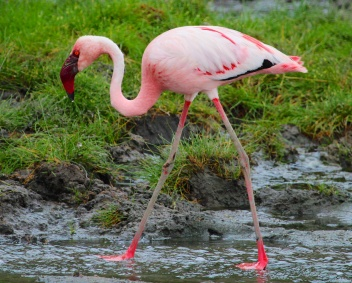 Lesser flamingo-Lake Manyara