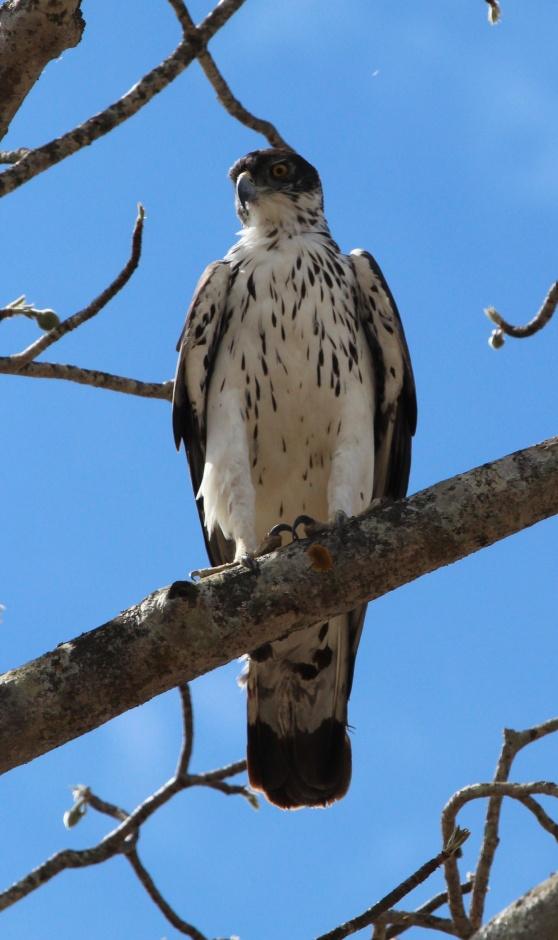 African hawk eagle-Tarangire