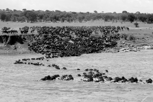 Wildebeests and Zebras crossing Mara river