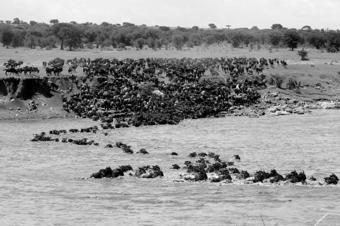 Wildebeests and Zebras crossing Mara river