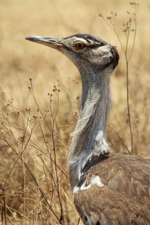 Kori Bustard-Ngorongoro