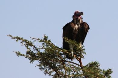 Lappet-faced Vulture-Serengeti