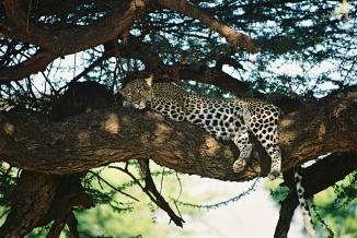 Leopard-Samburu National Park, Kenya