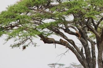 Leopards with Thmoson's gazelle-Serengeti