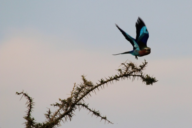 Lilac-breasted Roller-Serengeti