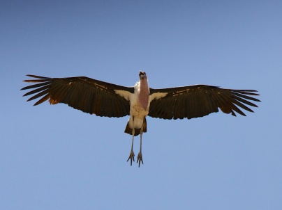 Marabu Stork-Ngorongoro