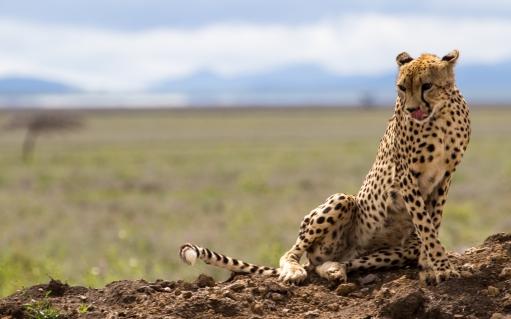 Cheetah-Serengeti