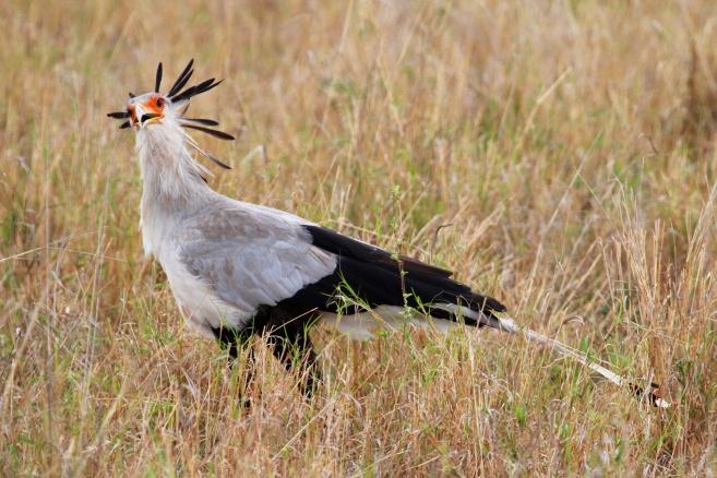 Secretary bird-Tarangire