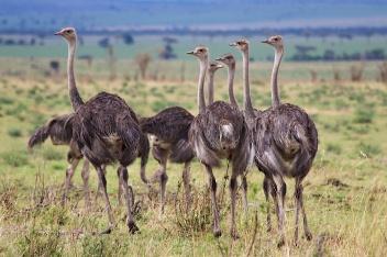 Ostriches-Serengeti