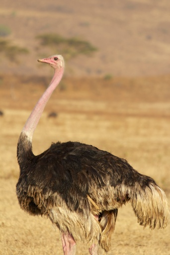 Ostrich-Ngorongoro