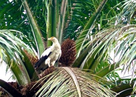 Palm-nut vulture-Gisenyi, Rwanda