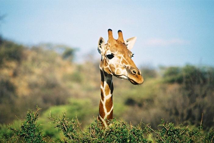 Reticulated Giraffe-Samburu National Park, Kenya
