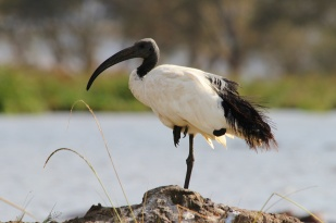 Sacred Ibis-Ngorongoro