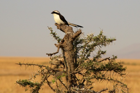 Shrike-Serengeti