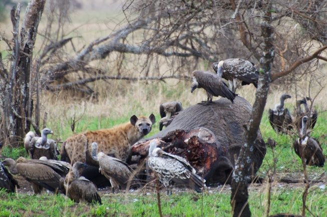 Spotted Hyaena, vultures on an Elephant kill, Serengeti