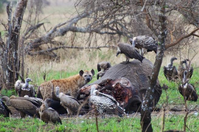 Spotted Hyaena, vultures on an Elephant kill, Serengeti