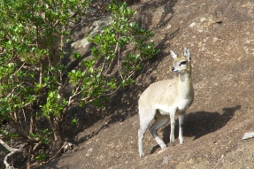 Klipspringer on a kopje, Serengeti