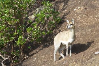 Klipspringer on a kopje, Serengeti