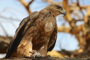 Tawny Eagle-Serengeti