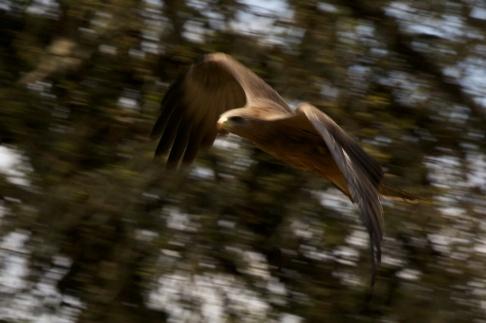 Tawny Eagle-Ngorongoro