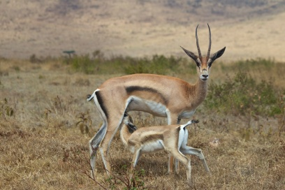 Thomson's Gazelle-Ngorongoro