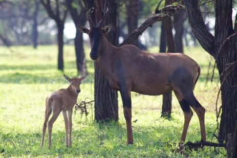 Topi with calf-Serengeti