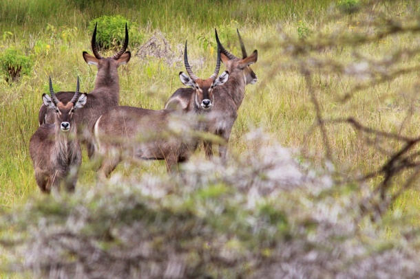 Waterbucks-Arusha National Park