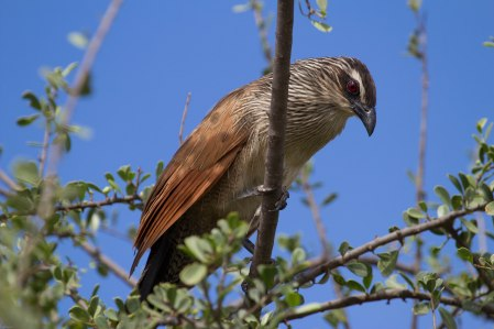 White-browed coucal-455