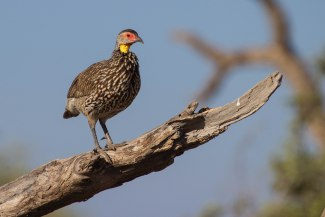 Yellow neck spurfowl-Amboseli