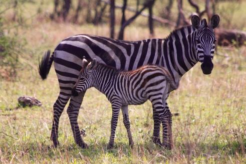Zebra with foal-Serengeti