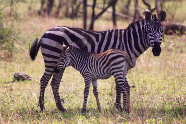 Zebra with foal-Serengeti