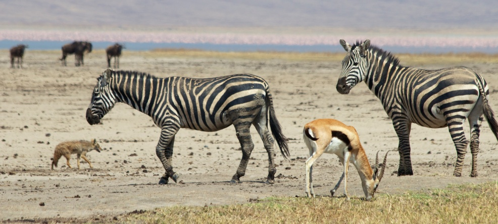 Zebra, Thompson Gazelle, Golden Jackal and Flamingos-Ngorongoro