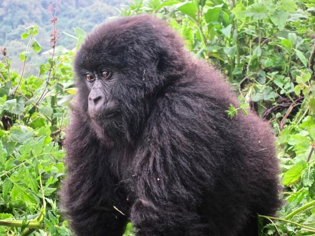 Gorilla-Virunga Mountains, Rwanda