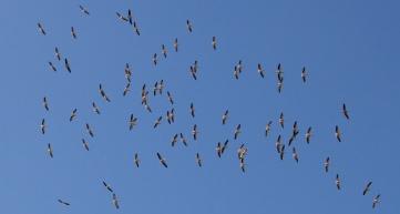 Great White Pelican-Lake Manyara