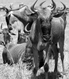 Wildebeests-Ngorongoro