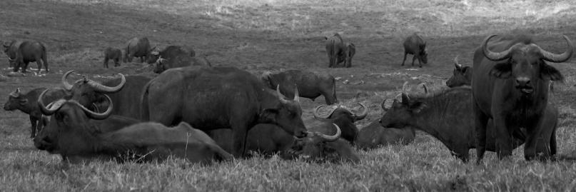 Buffalos-Ngorongoro
