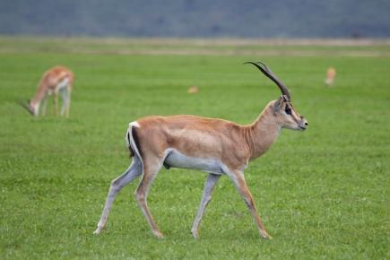Grant's gazelle-Ngorongoro