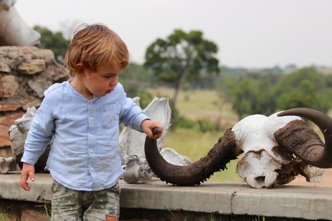Estudiando los cachos de un búfalo