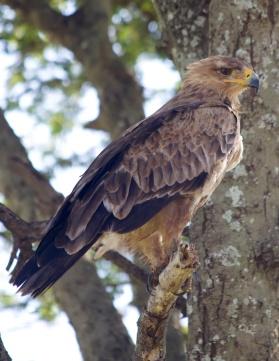 Tawney Eagle-Serengeti