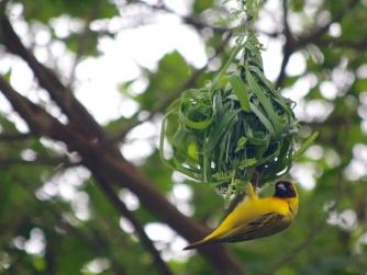 Vitelline Masked Weaver-Lake Manyara