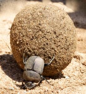 Dung Beetle-Lake Manyara