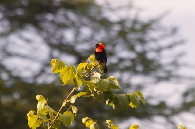 Black Bishop-Lake Manyara
