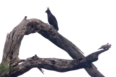 Long-crested Eagle, Ring-necked Doves-Lake Manyara