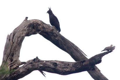 Long-crested Eagle, Ring-necked Doves-Lake Manyara