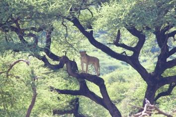 Lion-Lake Manyara