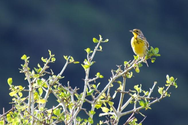 Yellow-throated Longclaw-Lake Manyara
